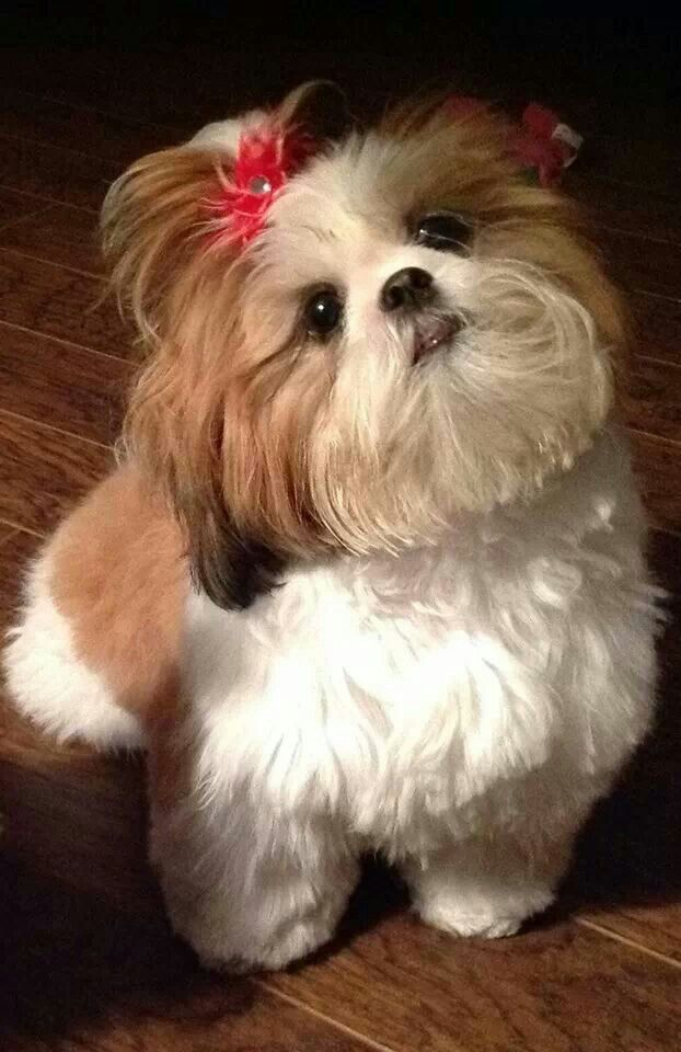 shih poo hair styles 25 best shih tzu hairstyles images on my 5546