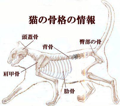 猫の骨格図。主に頭蓋骨、肩甲骨、背骨、肋骨、臀部の骨、前足と後ろ足の骨、指等の骨で構成されている