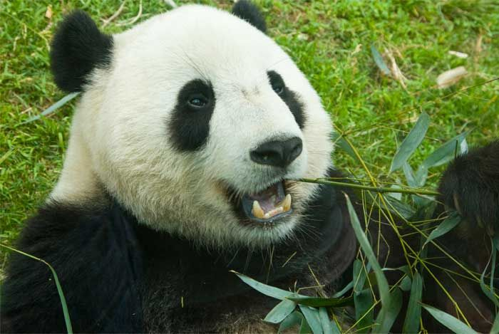 giant panda biography The giant panda (ailuropoda melanoleuca), is a species of bear native to south central china it is easily recognized by the large, distinctive black patches around.