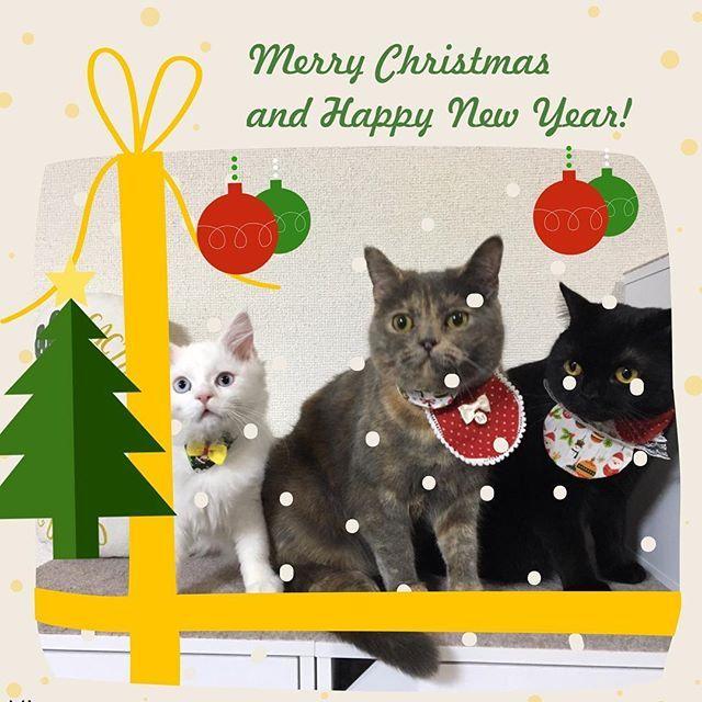 今日はイブ🎄ですね〜❤️ 皆ニャン♫ 素敵なクリスマスイブを過ごしてニャン♫🎅 #ねこのいる生活 #クリスマス #クリスマスイブ #にゃんこ #猫#ねこ#みんねこ#picneko#ピクネコ#ペコねこ部 #cat#kitty#catstagram #catsofinstagram #instagood #ねこのいる生活 #かわいい#カメラ女子 #クリスマスコーデ #ねこ部 #愛猫#ねこすたぐらむ #ねこら部#ファインダー越しの私の世界 #ふわもこ部