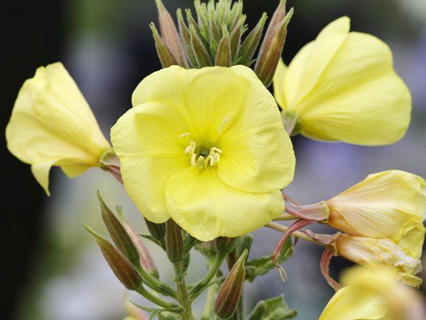 Das Blumen mit heilenden Kräften gesegnet sind, ist längst kein Geheimnis mehr. Salbei beruhigt einen schmerzenden Hals, das Trio aus Anis, Fenchel und Kümmel sorgt für Abhilfe bei Blähungen & Co. und die Bachblüte macht es möglich, dass wir unsere Nervosität ruck zuck wieder unter Kontrolle haben.