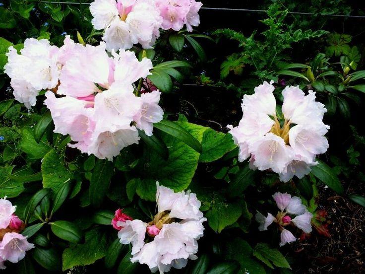Las 25 mejores ideas sobre de hoja perenne en pinterest for Arbustos de hoja perenne para jardin