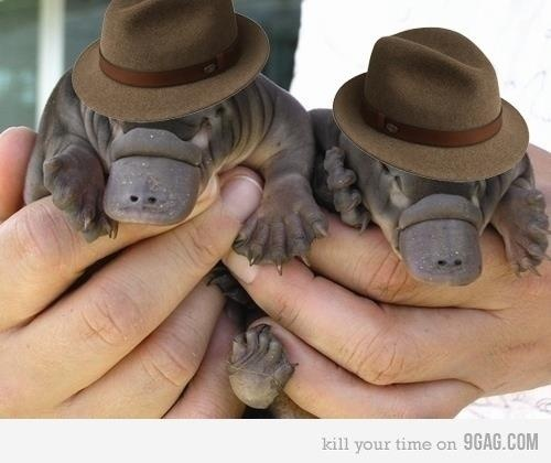You've got to be kidding me right? This can't possibly even exist. Baby platypuses are FAR too cute. Especially in fedoras.