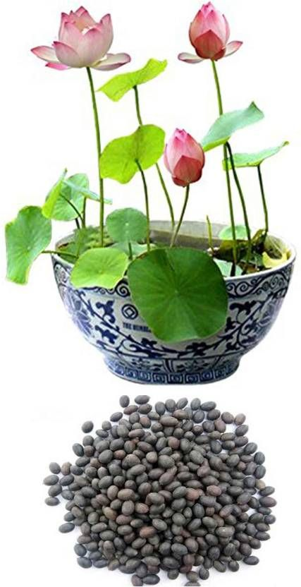 AIrex Lotus Flower Seed (8+8 Lotus Seed) 2 Packet Of Lotus Seed Seed