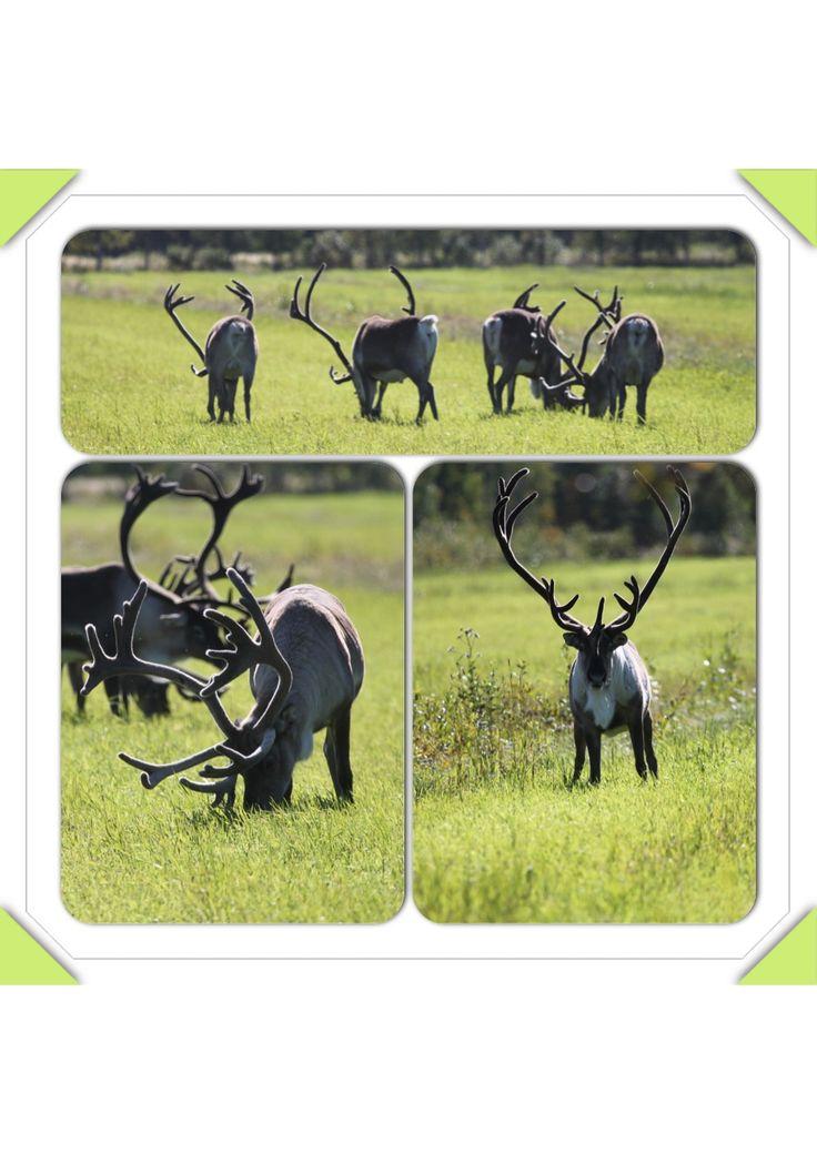 Males #reindeer