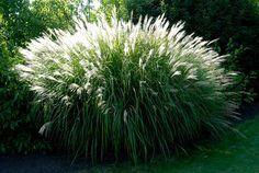 Très décoratif, le miscanthus est une plante vivace aux nombreuses utilités : produire du mulch, créer une haie brise-vent et/ou brise-vue, abriter insectes, oiseaux, petits animaux...et bien plus encore à découvrir dans notre article !