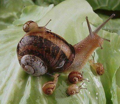Bébés escargots