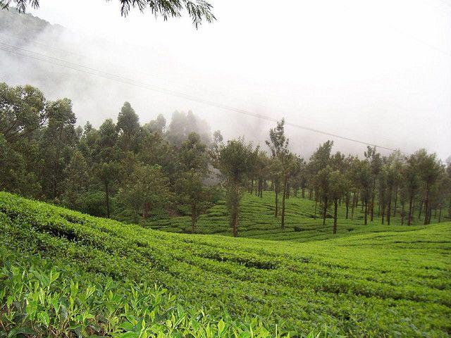 Munnar - Tea Plantation