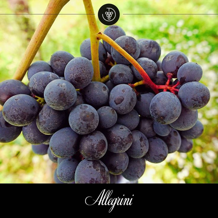 The stems are starting to get woody while the grapes are growing and accumulating more sugar. #Allegrini