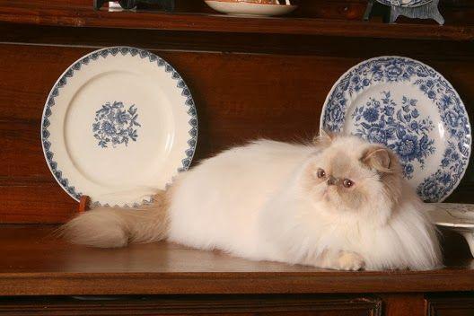 Pielęgnacja futra kotów długowłosych