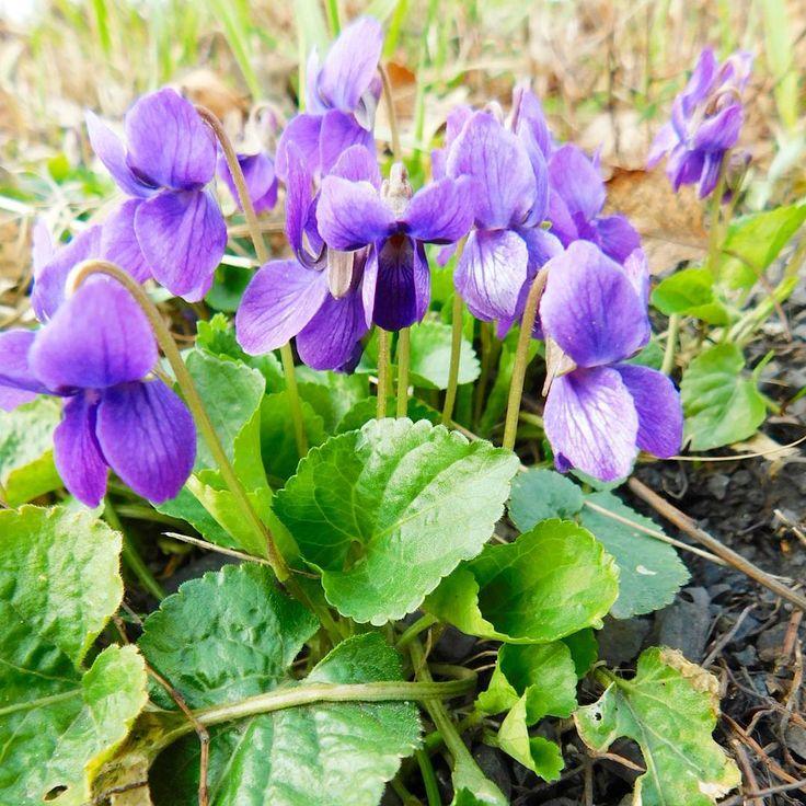 Dobré ráno...��Pěkný den..a užijte si víkend.!��...����������..Good morning��..Have a nice Friday����...Lovely weekend to you all!�� #czechrepublic#nature#naturephotography#violet#springflowers#instaphoto#naturelovers#innature#walk#march#loves_czech#czech_world#czech_insta#inthegrass#flowersphotography#czechnature#fialky#flowers#springnature#wildnature#ig_pepous#scenery#violets#instamoment#nas_svet# http://www.butimag.com/violets/post/1477413808191625204_3250608558/?code=BSA1AfnhNf0