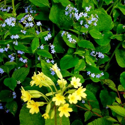 """""""Now the bright morning-star, Day's harbinger, Comes dancing from the East, and leads with her, The flowery May, who from her green lap throws, The yellow cowslip and the pale primrose....""""  ~ John Milton, """"Song on a May Morning""""  (image at carolynsshadegardens)"""