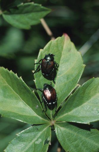 best 25  japanese beetles ideas on pinterest