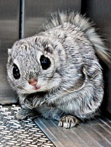 A Siberian flying squirrel riding in an elevator - what's up with that? ❊