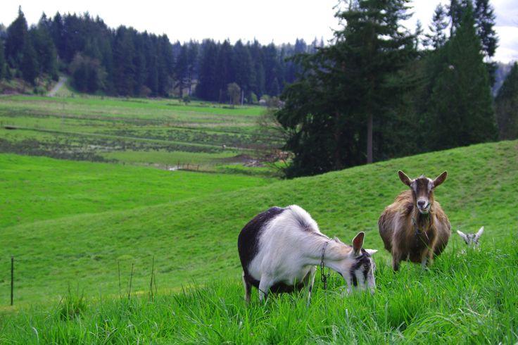 Benefits of Goat Milk vs. Cow Milk
