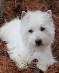 Westies Puppies For Sale & Upcoming West Highland Terrier Litters | Arrowhead Acres
