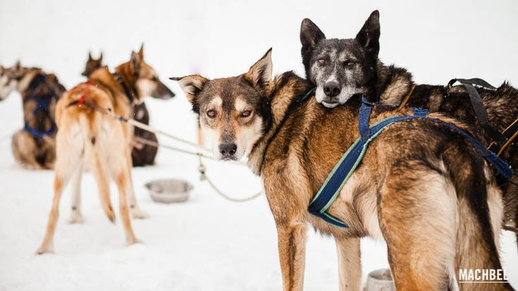 Mushing en Andorra, trineo tirado por perros, en Andorra - by machbel