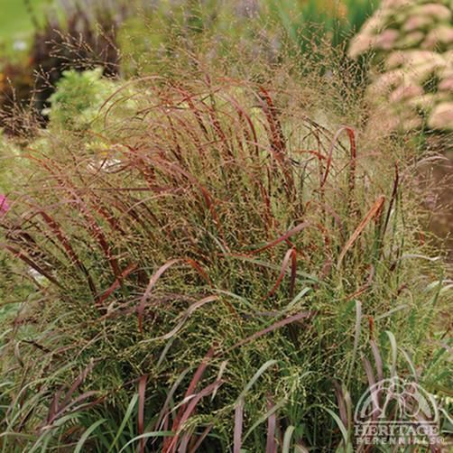 Panicum virgatum prairie fire red switch grass usda for Red perennial grass