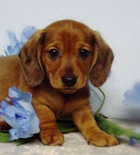 Baby sausage dog. If I ever get a dog, this little thing is on the short list. Pun unintended.