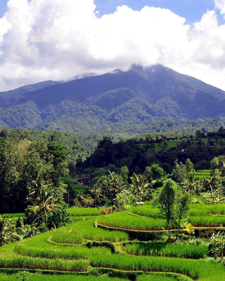Jatiluwih also famous with its organic agriculture system due to the located in the in the plateau of Watukaru Mount which is suitable for the agriculture development. - #countryside #riceterraces #jatiluwih #balilife #bali