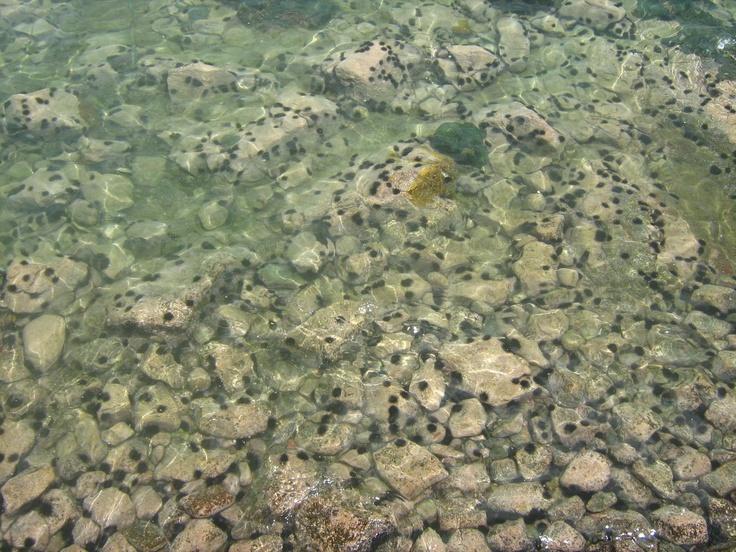 ouriços do mar, também conhecidos como pinaúna