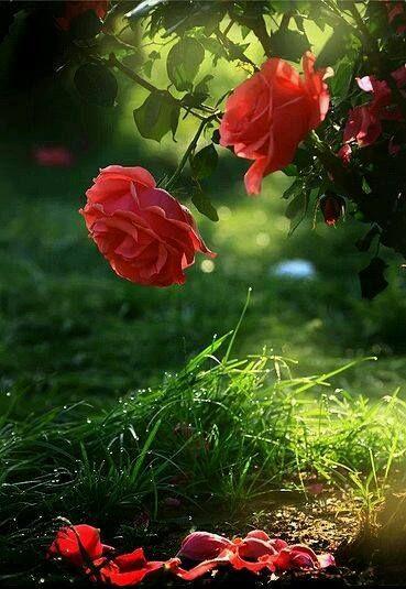 Królowa lata ...💖 Królowo lata zniewalasz swoim wdziękiem ... Odurzającą płatków wonią pieścisz Każdy swój nierozwinięty pąk,  Jak nieśmiałe serce pragnące miłości . Rozgrzana słońcem płoniesz  Delikatnością rozwiniętych płatków kusisz Jak Cię nie kochać królowo lata.? Jak nie ozdobić twą urodą świata ! Zgubiłaś dzisiaj rano kilka płatków  Skąpane rosą w utuleniu Czy można jeszcze bardziej kochać  Oddając piękno w swym kwitnieniu ? (maryla)