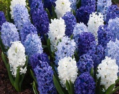 Hyacinth: Hyacinth Flower, White Flower, Blue Hyacinth, Hyacinth Bulbs, Hyacinth Blue Mixed Jpg, White Hyacinth, Beautiful Bouquets, Plants Bulbs Seeds Tre, Blue And White