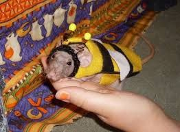 Image result for rats wearing clothes