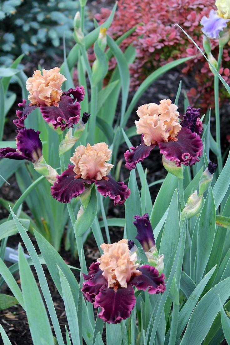 Photo of Tall Bearded Iris (Iris 'Toronto') uploaded by ARUBA1334