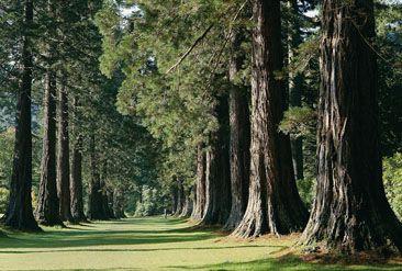 Belmore Botanic Garden's majestic avenue of giant redwoods - Argyle, Scotland