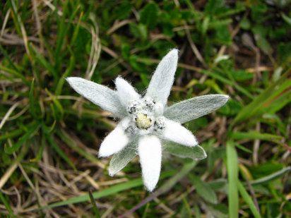 Descubre una flor de leyenda, la edelweiss