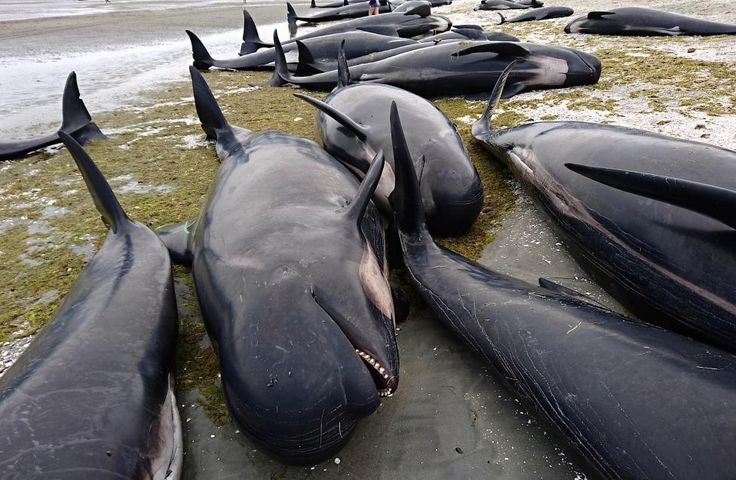 Dead pilot whales in New Zealand