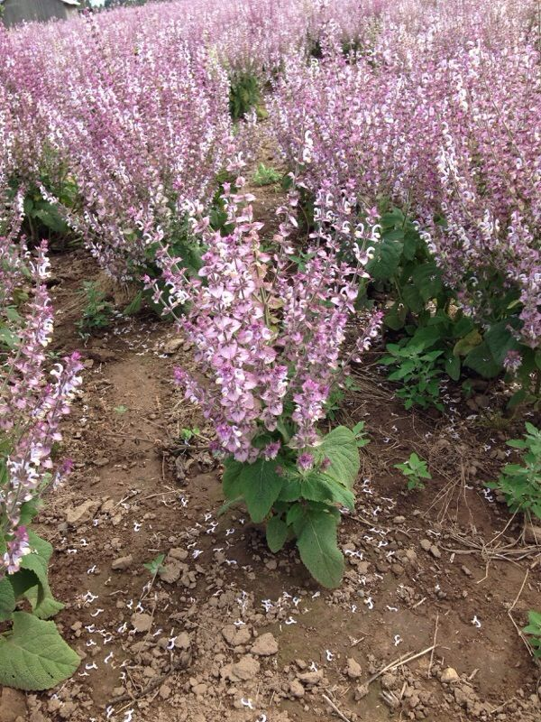 Clary Sage (salvia sclarea): The flowers have a very strong and somewhat unpleasant odor. It would be interesting to know the use these have on this farm.