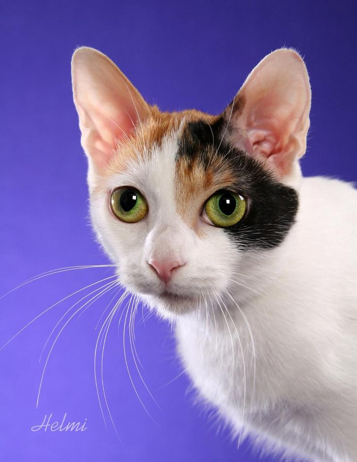 japanese bobtail cat pictures of cats