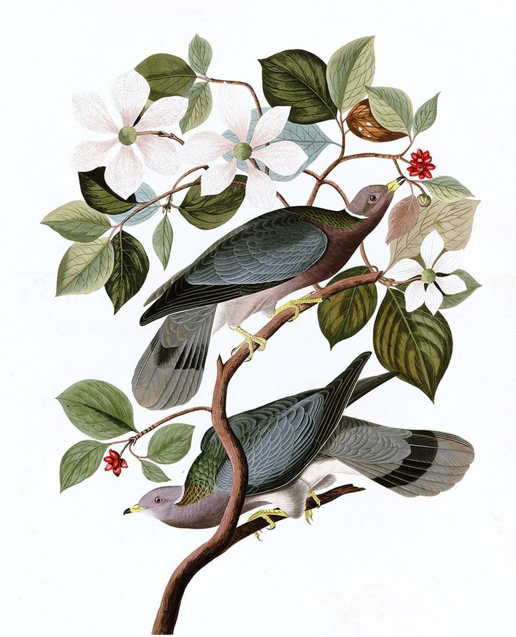 Plate 367: Band-tailed Pigeon via 20 x 200 // archival quality print from John James Audubon collection