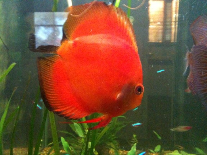 109 Best Images About Discus On Pinterest