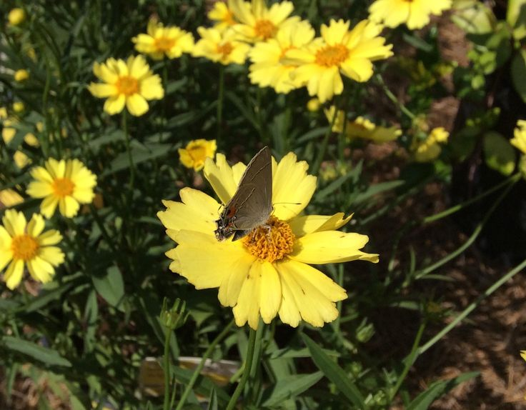 Didn't take long for nature to let others know about the brand new moonbeam coreopsis in the rose garden.