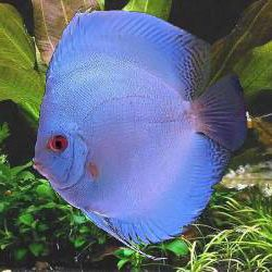 Discus Diamond Blue 3