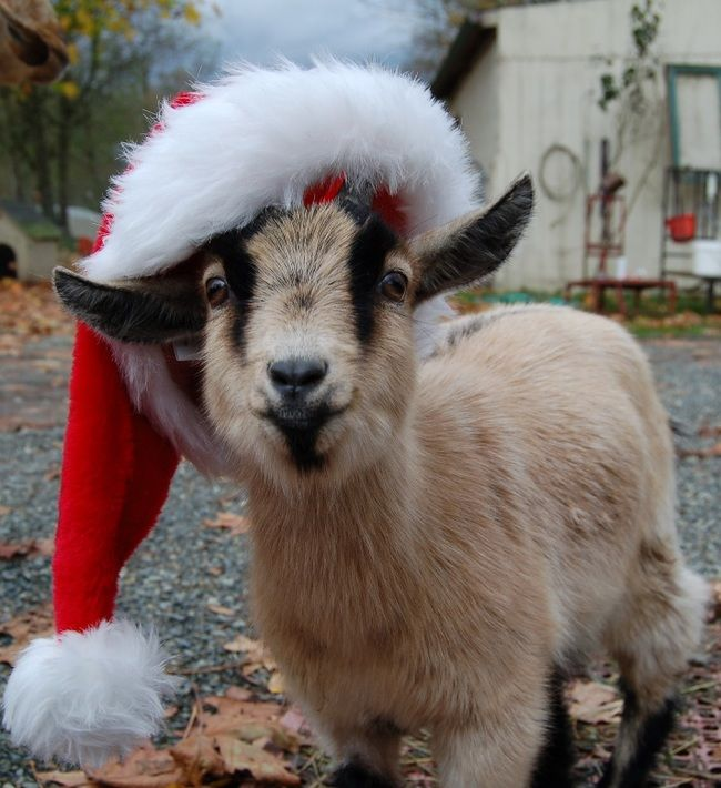 86 best images about cute baby goats on pinterest baby for Christmas pictures of baby animals