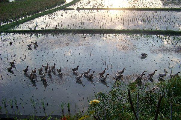 Ricefield ducks, Ubud