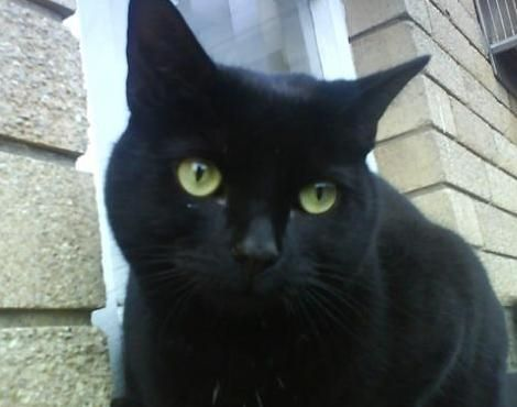 Bombay cat--black