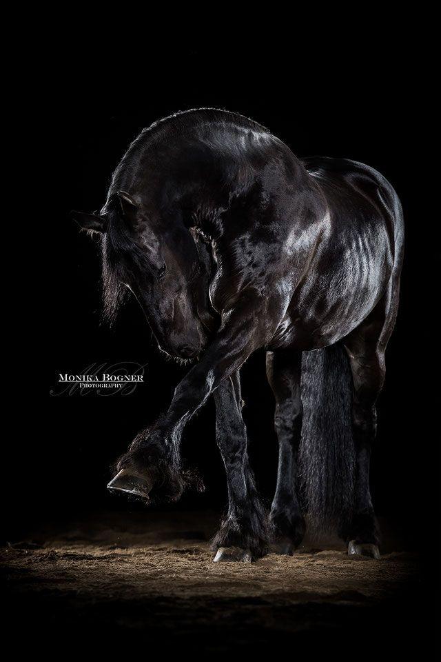 Friese, Pferde im Studio, vor schwarzem Hintergrund
