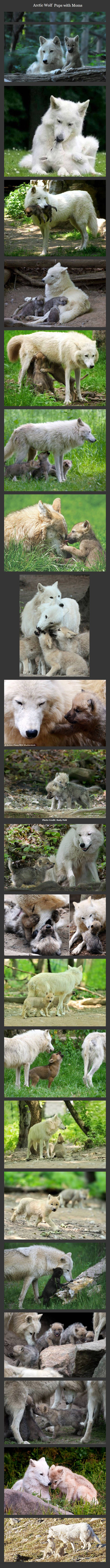 Arctic wolves and their pups