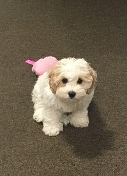 Cockapoo puppy for sale in MORRISVILLE, VT. ADN-37918 on PuppyFinder.com Gender: Female. Age: 15 Weeks Old