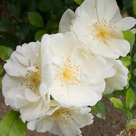 April Snow Camellia on Fast Growing Trees Nursery
