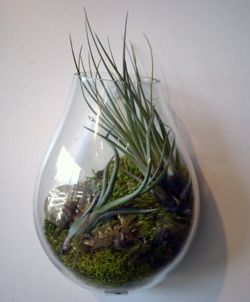 A Recycled Glass Bubble Wall Terrarium has a flat side for hanging;