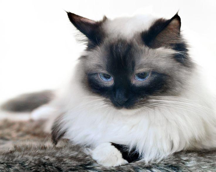 schöne katzen | Birma Katzen sind ausgesprochen schöne und sanfte Katzen. Diese Katze ...