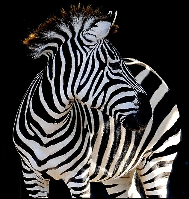 Zebra by Roger Eamer.  I suspect it's hard to take a bad photo of a zebra, but this one is really spectacular!  :-)