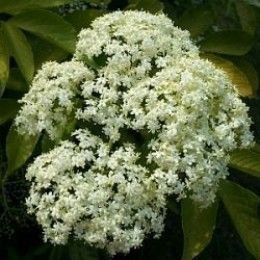 Here is all the information you need to make elderflower lemonade, or any other fermented elderflower drink. From picking the flowers to fermenting, all you need to know is on this page.