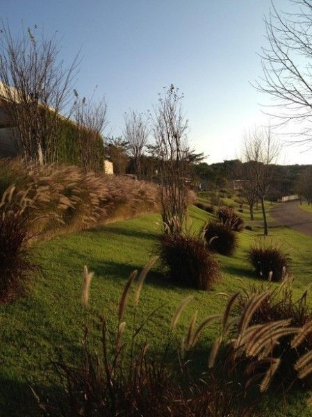 BAMBUS | Capim do Texas (pennisetum setaceum rubrum) - Lindas Mudas - PAISAGISMO                                                                                                                                                                                 More